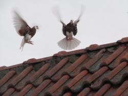 Wir lösen Ihre Taubenprobleme - schnell, diskret und zuverlässig.
