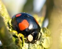Asiatischer Marienkäfer - überwiegend schwarz gefärbt