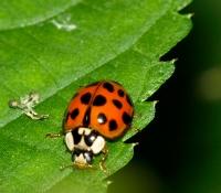 Asiatischer Marienkäfer - ein Fall für die Schädlingsbekämpfung?