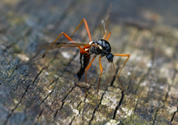 Schlupfwespen als biologische Schädlingsbekämpfungsmittel gegen Insekten