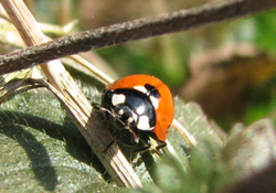 Marienkäfer als biologisches Schädlingsbekämpfungsmittel gegen Blattläuse