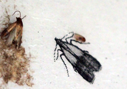 Biotechnische Schädlingsbekämpfungsmittel: Klebefalle für Lebensmittelmotten