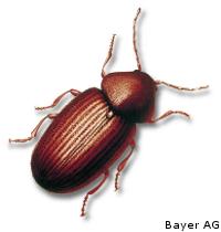 Brotkäfer - Käfer in der Schädlingsbekämpfung