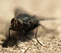Fliegen - lästig und schädigend