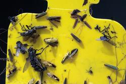 Gelbfalle, Insektenfalle