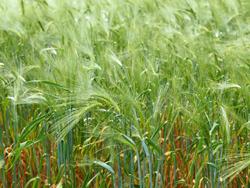 Fungizide werden vielfach in der Landwirtschaft eingesetzt.