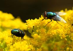 Goldfliegen im menschlichen Umfeld sind ernstzunehmende Schädlinge.
