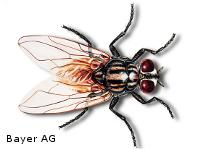 Große Stubenfliege - Lästling und Gesundheitsschädling