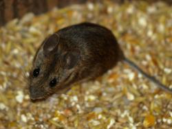 Schadnager wie Mäuse bekämpfen - JARKOW Schädlingsbekämpfung