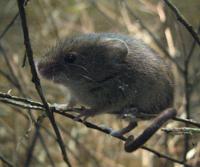 Maus - Mäuse im Schädlinge-Lexikon
