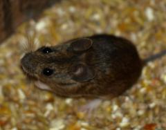 Professionelle Mäusebekämpfung durch die JARKOW Schädlingsbekämpfung