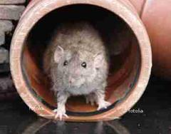 Professionelle Rattenbekämpfung durch die JARKOW Schädlingsbekämpfung