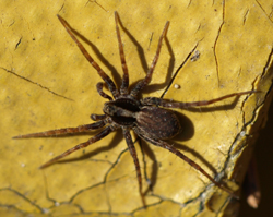 Spinnentiere: Hier eine Spinne.