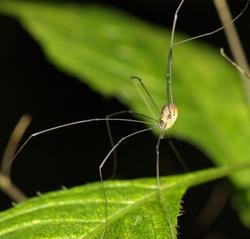 Keine Spinnen: Weberknechte