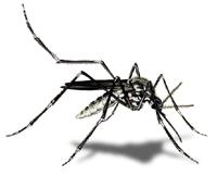 Mücke Schwarz Weiß