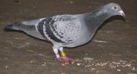 Tauben in der Schädlingsbekämpfung