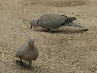 Türkentaube - Schadvögel