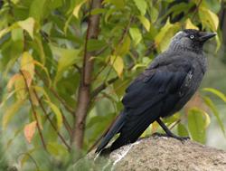 Dohlen leben mitten unter uns und haben sich angepasst: Vögel abwehren.