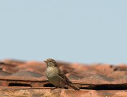 Abwehr von Vögeln: Spatzen