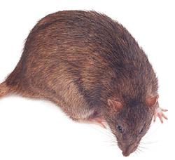 In der Rattenbekämpfung geht es vor allem um die Wanderratte.