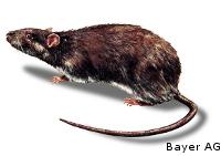 Schadnager - Ratten - Wanderratte