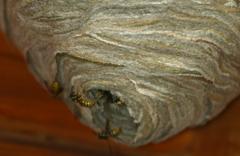 Wespennester entfernen, Wespen bekämpfen